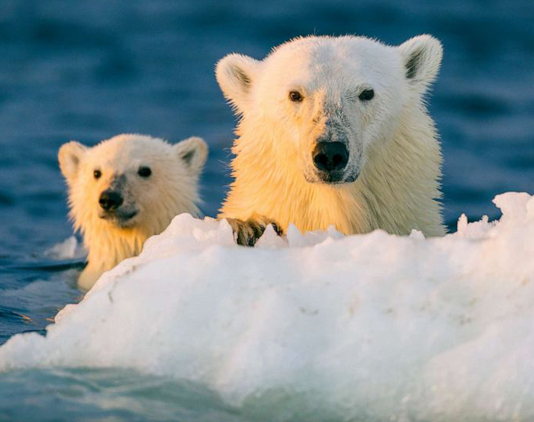 Climate change to lose polar bear inhabitants by 2100