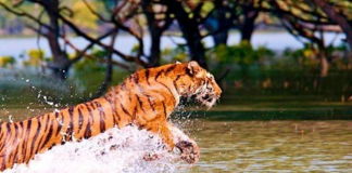 Tiger population is at risk in Sundarbans.