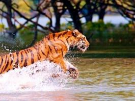 Tiger population is at risk in Sundarbans.